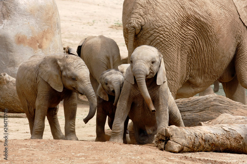 Fotografie, Obraz  Baby African Elephants Playing Together Next to an Adult Female