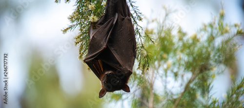 Stampa su Tela Flying Fox Bat during the day time.
