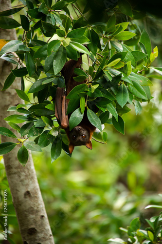 Flying Fox Bat during the day time.