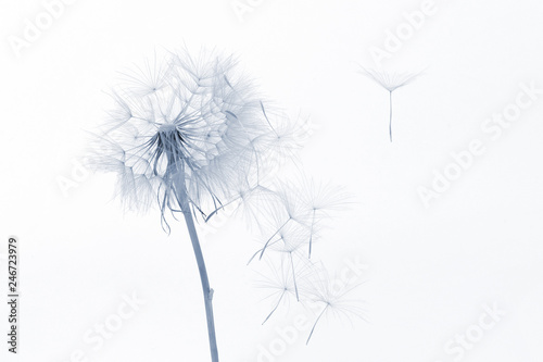 Spoed Foto op Canvas Paardenbloem dandelion and its flying seeds on a white background