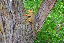 Fox Squirrel (Sciurus Niger) A...