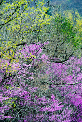 Spoed Fotobehang Purper Wild Dogwoods and Redbuds are blooming together in the forest.