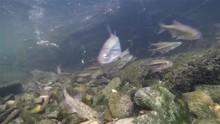 Underwater Riffle Minow Alburnoides Bipunctatus