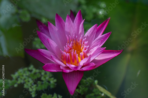 Poster de jardin Nénuphars Close-up pink lotus water lily flower