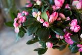 blossom Pink azalea flowerpots for sale in flower shop.Floral present for event.Pink blooming azalea in the garden. Season of flowering azaleas.Selective focus. Copy space