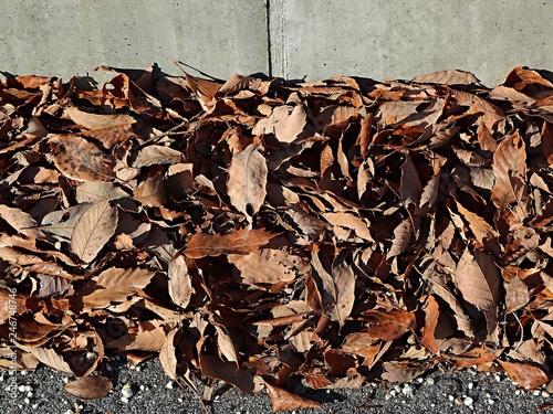 Foto  吹き溜まりのコナラの落ち葉