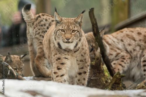A big lynx is attentive outside in winter #246752355
