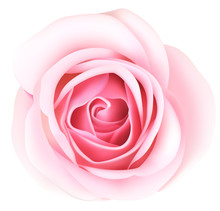 Decorative Pink Rose Isolated On White Background. Top View. Vector Illustration. Spring Flower