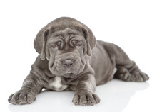Neapolitan Mastiff Puppy Lying And Looking At Camera. Isolated On White Background