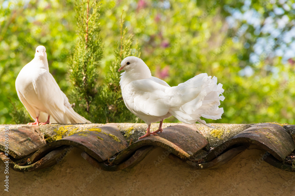 White doves in the garden