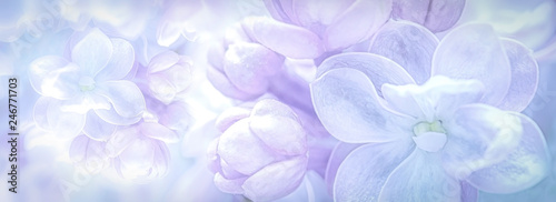 Foto auf AluDibond Flieder Beautiful purple lilac flowers blossom branch panorama background. Soft focus. Greeting gift card template. Pastel toned image. Nature abstract. Copy space