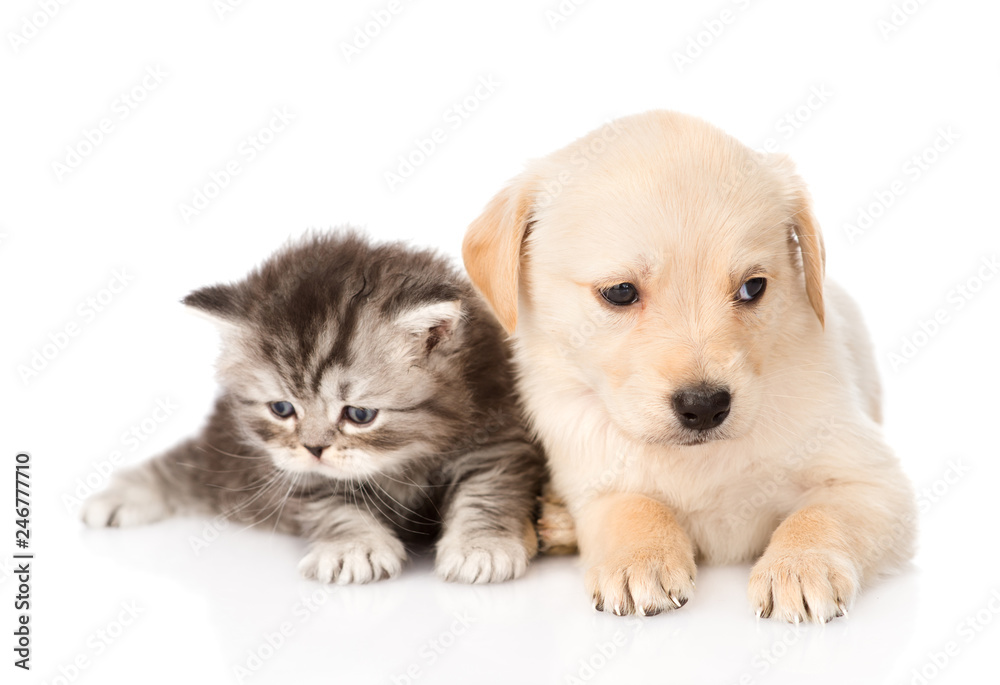 Fototapety, obrazy: golden retriever puppy dog and british tabby cat lying together. isolated on white background