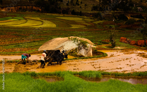 Foto auf Gartenposter Reisfelder Landscape with the ploughing farmers and zebu at the rice fields
