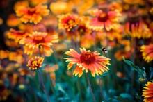 Beetle Bumblebee Flies Up To A Beautiful Chrysanthemum Flower To Enjoy Honey