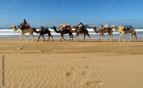 A loaded camel caravan walking along the Atlantic coast near Essaouira, Morocco Canvas-taulu