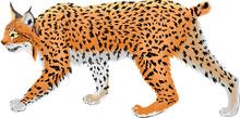 Vector Wild Bobcat Lynx