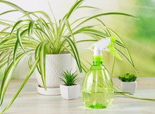 Focus On Green Bright Water Spray Bottle And Houseplant In Big Pot( Chlorophytum Comosum, Often Called Spider Plant Also Known As Airplane Plant, St. Bernard's Lily, Spider Ivy, Ribbon Plant.