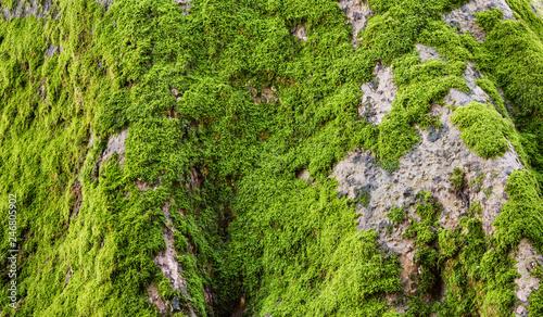 Valokuvatapetti Green moss on tree trunk