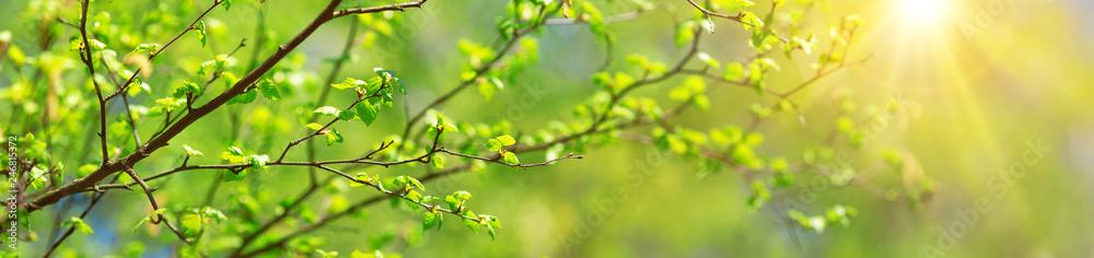 Fototapety, obrazy: New birch leaves