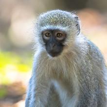 Vervet Monkey Looking At Camera