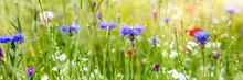 Header Mit Wildblumen, Blaue Kornblumen In Der Blüte