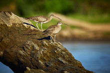 Couple Of Long-billed Curlews ...