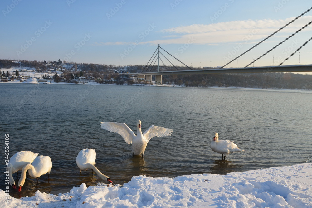 Swan with open wings standing in the water on the snowy bank of the river with other swans