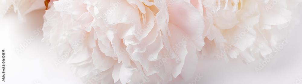 Fototapeta Romantic banner, delicate white peonies flowers close-up. Fragrant pink petals