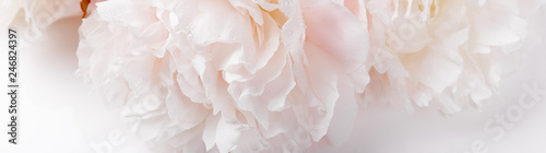 Fototapeta Romantic banner, delicate white peonies flowers close-up. Fragrant pink petals obraz