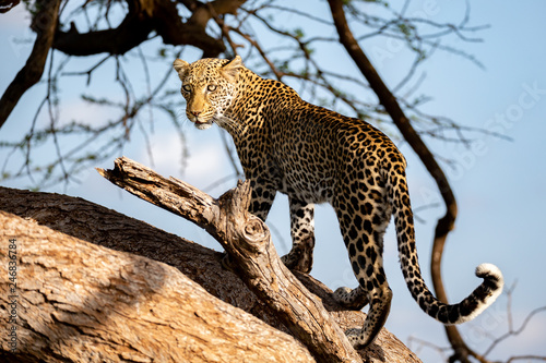 Poster Leopard A beautiful lepard on the tree is watching