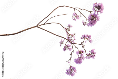 Photo sur Aluminium Arbre Jacaranda Flower isolated on white background, a species with an inflorescence at the tip of the purple flower, is native to South America.