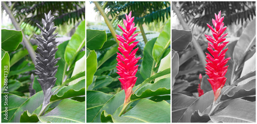 alpinia flower (or ginger) red and black Canvas Print