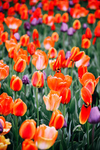 Spring Colorful Tulips Field
