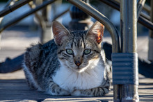 Tabby Cat Kitten With Paws Curled In Sitting On Decking Under Table And Chairs In Summer