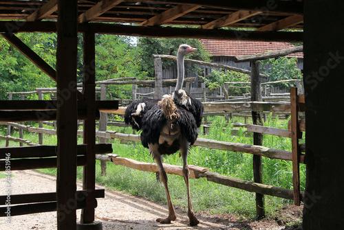 Adult male ostrich on a farm