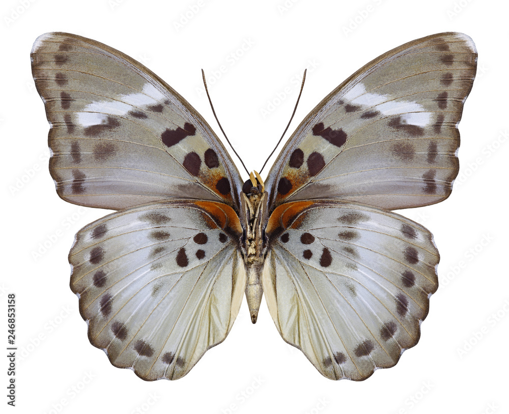 Butterfly Euphaedra themis (female) (underside) on a white background