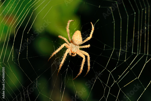 Big brown spider on its web
