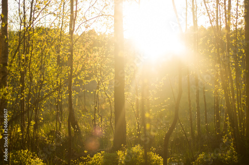 Birches in the forest. Early spring. Beauty of nature. Sun set Soft light.