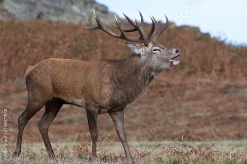 Red Deer Stag Bolving (Cervus elaphus)/Red Deer Stag bellowing for his hinds Wallpaper Mural