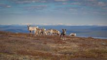 Reindeer Herd Grazing On A Mou...