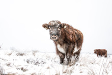 Hardy Highland Cattle In Snow ...