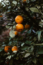 Ripe Tangerine Fruits On The Tree In The Sunlight.