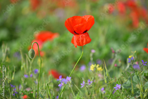 Foto op Plexiglas Panoramafoto s Field of blooming red poppies. Beautiful fields of red poppy. Red poppies in sunlight. Red poppies in grass.
