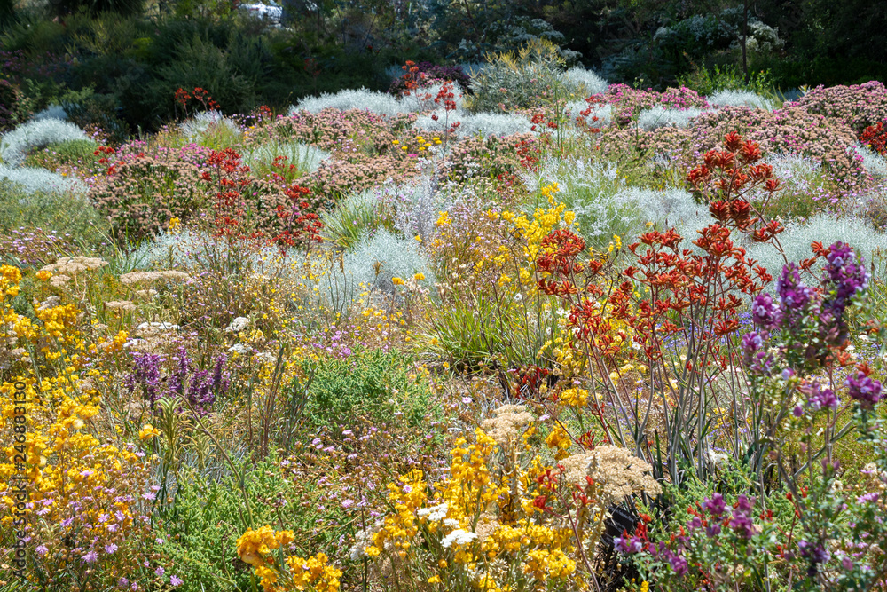 Fototapeta Flowers in many colors in Perth botanical garden with its collection of Western Australia