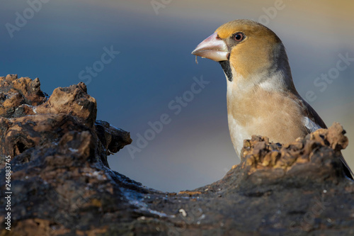 Fotografía Hawfinch (Coccothraustes coccothraustes) portrait on blue background