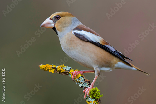 Fotomural Hawfinch (Coccothraustes coccothraustes) perched on a branch in the forest