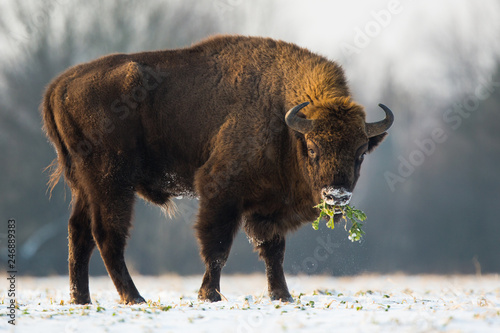 Valokuva European bison - Bison bonasus in the Knyszyn Forest (Poland)