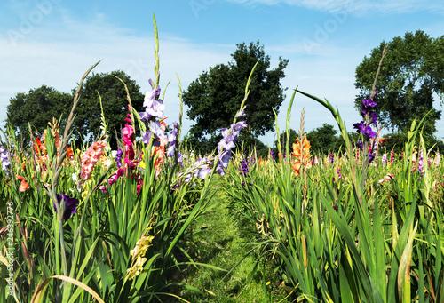 Blumenfeld mit Gladiolen als Schnittblumen im regionalen Direktverkauf, Selbstbedienung für den Verbraucher