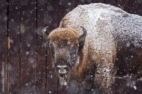 Bison or Aurochs in winter season in there habitat Canvas-taulu