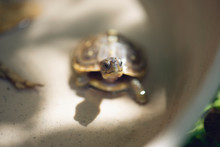 Baby Three Toad Box Turtle